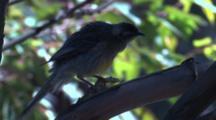 A Young Red Wattlebird Flies From Its Perch