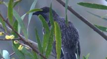 A Little Wattlebird Preens On A Wattle Bush