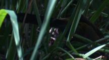 An Eastern Whipbird Forages In Tall Grass