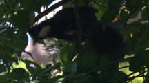 An Eastern Whipbird Forages In A Bush