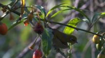 A Silvereye Forages On A Kangaroo Apple Bush
