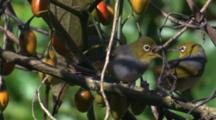 A Silvereye Feeds Its Young On A Kangaroo Apple Bush