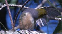 A Silvereye Preens - With An Insight Into The Setup Of The Shot