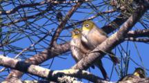 Several Silvereyes Gather On A Casuarina Tree