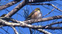 A Pair Of Silvereyes Gather On A Casuarina Tree In The Wind