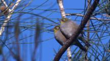 A Pair Of Silvereyes Sit Side By Side On A Casuarina Tree