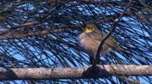A Silvereye Has A Snooze On The Branch Of A Casuarina Tree