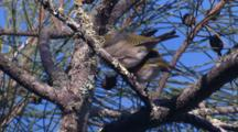 Two Silvereyes Pause Side By Side On A Casuarina Tree