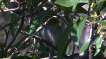A Silvereye Enjoys The Shade Of A Tree On A Hot Day