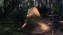 Zoom In To A Termite Mound In A Gum Forest With Burrawang Palms