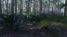 Spotted Gum Forest With Burrawang Palms, Lake Behind