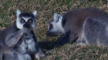 Two Ring-Tailed Lemurs Forage On A Meadow