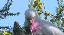 Cockatoo Feeds On Flowers In A Garden