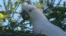 Cockatoo Feeds On Flowers In A Domestic Garden