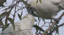 Cockatoo Feeds Juvenile On A Gum Tree Branch