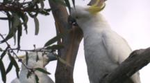 Two Cockatoos Have A Difference Of Opinion On A Tree