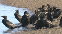 A Flock Of Cormorants Rest On A Mudflat Near Water