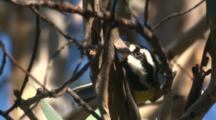 A Crested Shrike-Tit Finds Snacks In The Bark Of A Tree