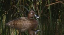 A White-Eyed Duck Relaxes In A Pond Among Reed