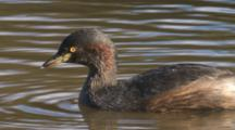 An Australasian Grebe In A Pond Dives Away