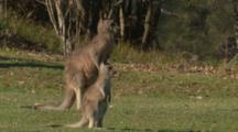 A Kangaroo And Its Joey Take A Break From Grazing