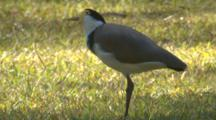 A Masked Lapwing Checks The Grass For Invertebrates