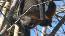 A Fruit Bat Limbs Higher On A Casuarina Tree