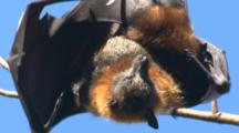 A Fruit Bat Tries To Keep Its Young Cool In The Summer Sun