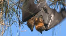 A Fruit Bat And Its Young Hang Side By Side On A Casuarina Tree