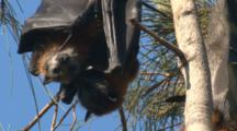 Fruit Bat Mother And Child Hang Side By Side On A Casuarina