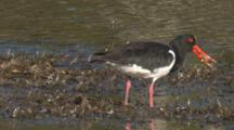 A Pied Oystercatcher Forages On A Mudflat And Finds A Snack