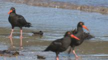 A Flock Of Sooty Oystercatchers Forage On A Beach