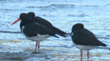 Pied Oystercatchers Rest On A Beach