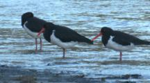 Pied Oystercatchers Rest On A Beach At The Rising Tide