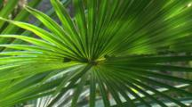 The Frond Of A Cabbage Palm Trembles In The Wind