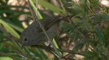 A Tiny Thornbill Forages In A Bush