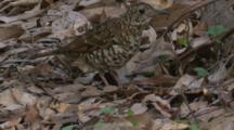 A Bassian Thrush Forages In Leaf Litter