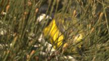 A Golden Whistler In Hiding Preens On A Casuarina Branch