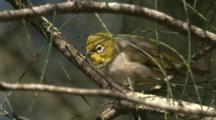 A Silvereye Forages On A Casuarina Tree
