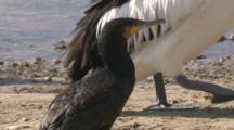A Pelican Walks Past A Great Cormorant Near Water