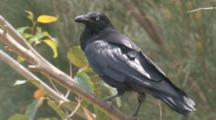 An Australia Raven Calls From Its Perch