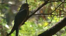 A Fan-Tailed Cuckoo Calls From Its Perch