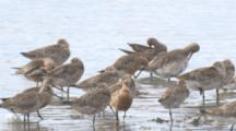 Bar-Tailed Godwits And Other Wading Birds Congregate On A Beach