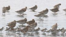 Bar-Tailed Godwits And Other Waders Congregate In Shallow Water