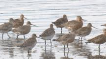 Bar-Tailed Godwits Congregate In Shallow Water