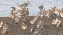 Bar-Tailed Godwits Congregate On A Beach, Orange Coloured = Breeding