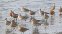 Hundreds Of Godwits Parade In Front Of The Camera/Orange Coloured = Breeding