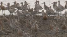 Hundreds Of Godwits Congregate On A Beach/Orange Coloured = Breeding