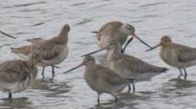 Many Godwits Congregate In Shallow Water