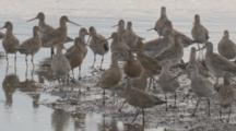Many Godwits Congregate At The Water's Edge/Orange Coloured = Breeding